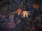 Autumn-hued Oak Leaves Floating in a Pond Photographic Print by Amy & Al White & Petteway