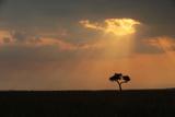 A Lone Acacia Tree, Acacia Species, on the Savanna at Sunset Photographic Print by Joe Petersburger