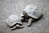Tortoises in the Galapagos Photographic Print by Jill Schneider