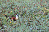 A Male African Jacana, Actophilornis Africana, Hunting in Vegetation Photographic Print by Joe Petersburger