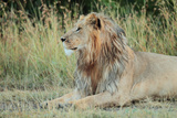 Portrait of a Male Lion, Panthera Leo, Resting But Alert Photographic Print by Joe Petersburger