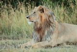 Portrait of a Male Lion, Panthera Leo, Resting But Alert Photographic Print by Joe Petersburger