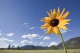 One Sunflower in a Field in Flagstaff, Arizona Fotografisk tryk af John Burcham