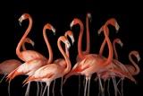A Group of American Flamingos, Phoenicopterus Ruber Stampa fotografica di Sartore, Joel