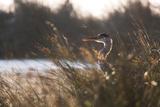 A Gray Heron, Ardea Cinerea, in Grass Fotografisk tryk af Alex Saberi