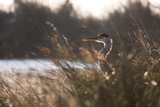 A Gray Heron, Ardea Cinerea, in Grass Photographic Print by Alex Saberi