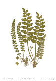 Sea Spleenwort Posters by Marine 