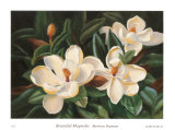 Bountiful Magnolia Poster by Barbara Shipman
