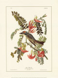 Pipiry Flycatcher Print by John James Audubon