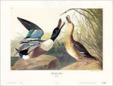 Shoveller Duck Posters by John James Audubon