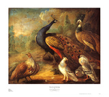 Peacock and Partridge Prints by Marmaduke Cradock