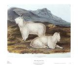 Schneeziege Kunstdrucke von John James Audubon