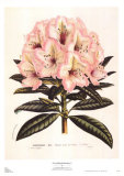 Pink Rhododendron I Prints by Francois Van Houtte