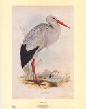 White Stork Prints by John Gould