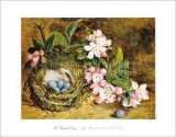 Apple Blossom and a Bird's Nest Posters by H. Barnard Grey