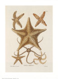 Starfish Prints by George Wolfgang Knorr