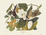 Black-Billed Cuckoo Prints by John James Audubon