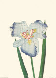Woodcuts Irises Prints