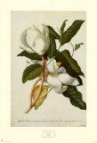 Magnolie Kunstdrucke von Georg Dionysius Ehret
