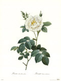 Rosa Albaflore Pleno Prints by Pierre-Joseph Redout&#233;