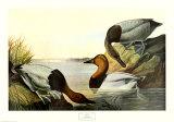 Riesentafelente Poster von John James Audubon