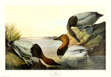 Canvas Backed Duck Prints by John James Audubon