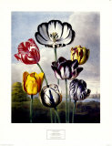 Tulips Posters by Dr. Robert J. Thornton