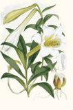 Lilium Neilgherriense Art by Georg Dionysius Ehret