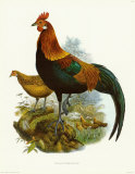 Rooster II Prints by James Elliot