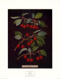 Cherries II Prints by George Brookshaw