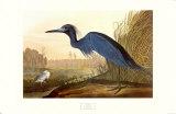 Blaureiher Kunstdruck von John James Audubon