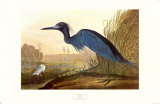 Little Blue Heron Print by John James Audubon