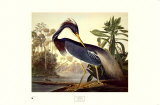Louisiana Heron Art by John James Audubon