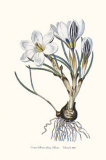 Crocus Biflorus Poster by John Edwards