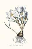 Crocus Biflorus Prints by John Edwards