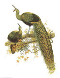 Pavo Muticus Prints by James Elliot