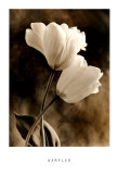 Bending Tulip Prints by Sondra Wampler