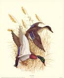 Mallards Poster von Charles Murphy