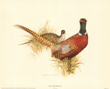 Ring Neck Pheasant, Art Print