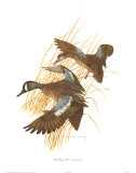 Blue Winged Teal Art by Charles Murphy