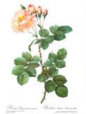Rose, Damascena Aurora Prints by Pierre-Joseph Redouté