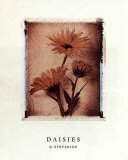 Daisy Study I Prints by Dick &amp; Diane Stefanich