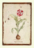 Tulipa Aureicoloris Poster by Lisa Canney Chesaux