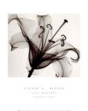 Lily Muscadet Print van Steven N. Meyers