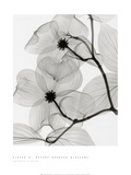 Dogwood Blossoms Print by Steven N. Meyers