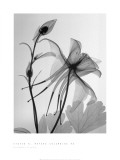Columbine II Prints by Steven N. Meyers