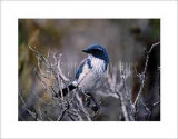 Scrub Jay Posters by Joseph Wolf