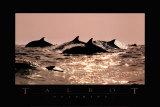 Delfine Poster von Bob Talbot