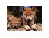 Wolfswelpen im Frühling Kunstdrucke von Art Wolfe
