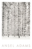 Pine Forest in the Snow, Yosemite National Park Plakater af Ansel Adams